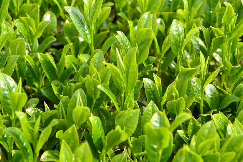 Kagoshima Tea Bush Leaves