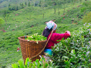 tea-picker-at-jungpana-tea-estate-darjeeling-india